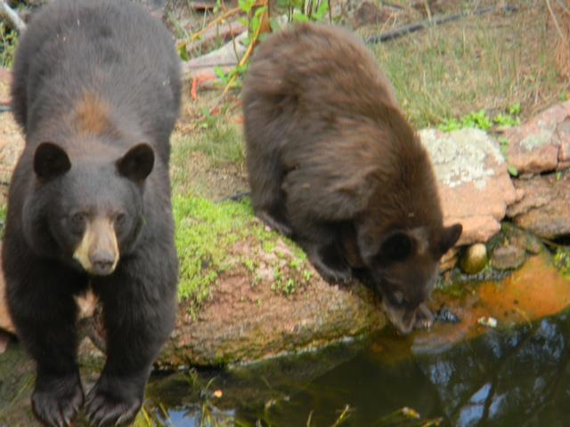 Bears enjoying one of our backyard water features for Koi pool thornton