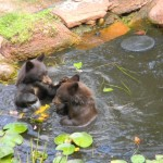 Bears in Pond