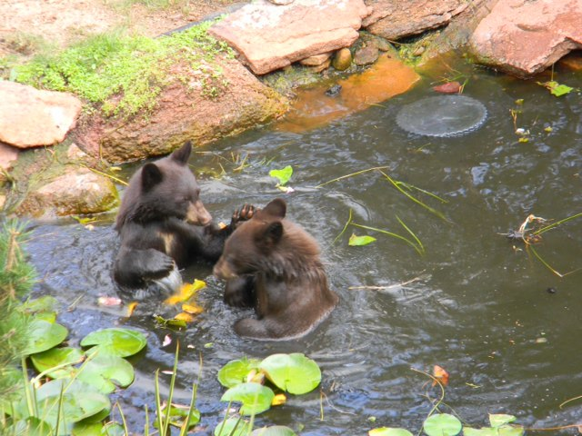 Bears enjoying one of our backyard water features water for Koi pool thornton