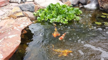 Pond tips news for Koi pool thornton